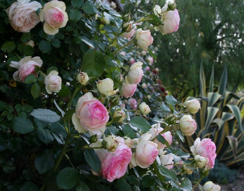 climbing eden rose garden celebrations. Black Bedroom Furniture Sets. Home Design Ideas