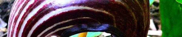 Arisaema franchetianum'Hugo':photo by Robert Pavlis