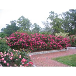 Small Crop Of When To Prune Knockout Roses