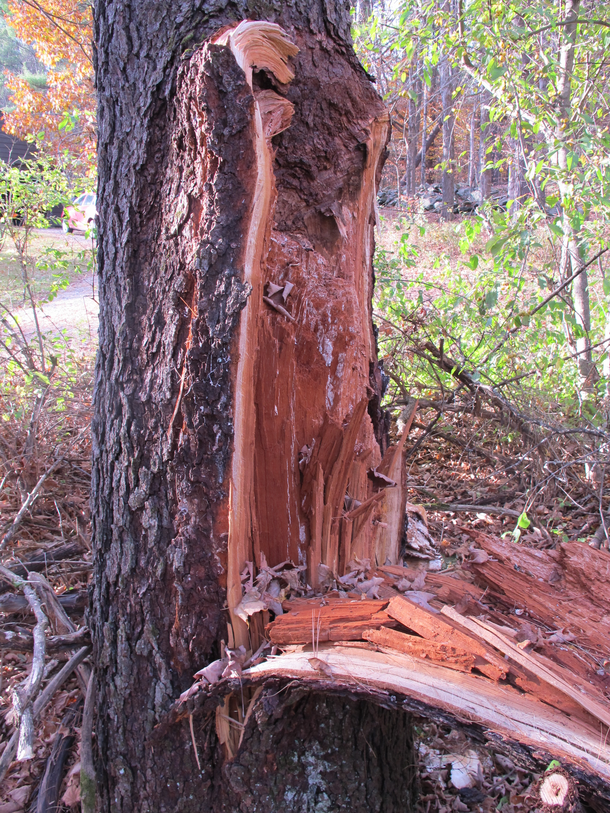 Comfy Cherry Tree Split Due To Included Bark Cherry Tree Split Bark Henry Homr Cherry Tree Bark Repair Cherry Tree Bark Tea houzz 01 Cherry Tree Bark
