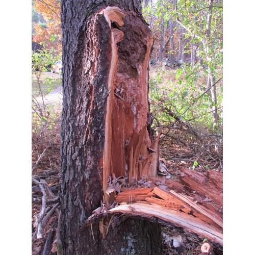 Medium Crop Of Cherry Tree Bark