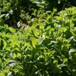 How to Grow and Use Mint