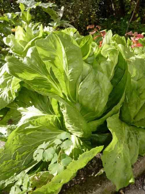 lettucegrowing