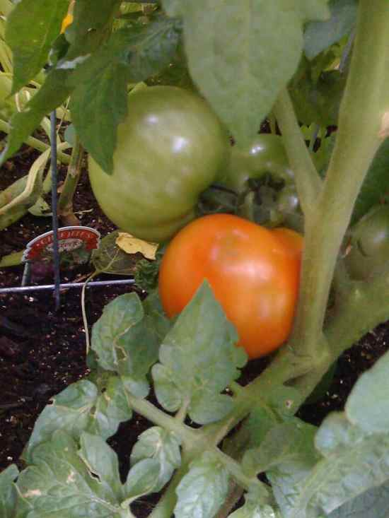 tomatoes ripening on the vine in garden