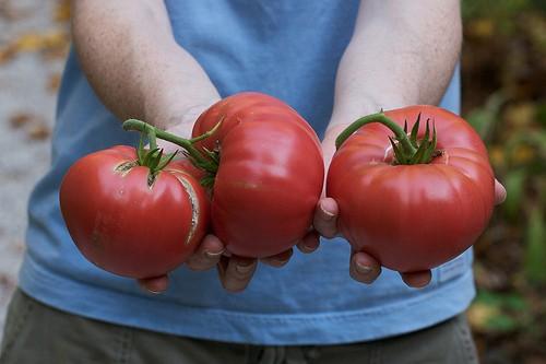 Growing Brandywine Tomatoes