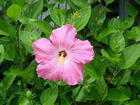 Hibiscus flower edible
