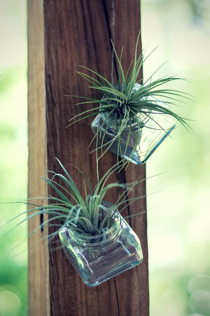 How to Grow Air Plants