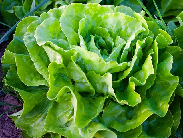 Grow Lettuce Year Round