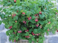 Patio Raspberry selling fast