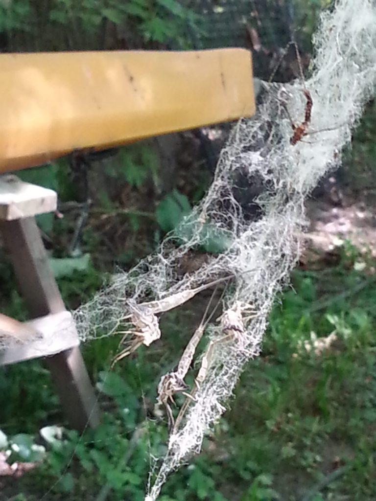 Poplar fuzz caught in a cobweb