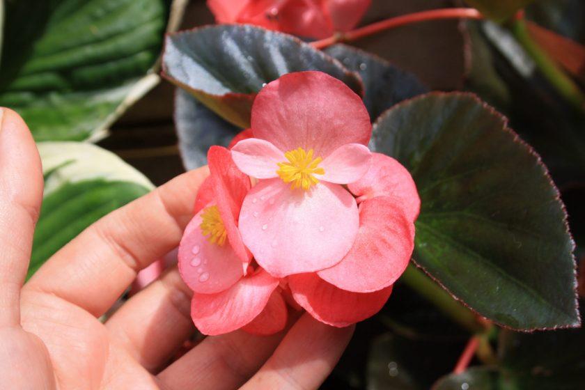 Megawatt Pink Bronze Leaf Begonia Flower