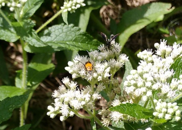soldier beetle and black wasp