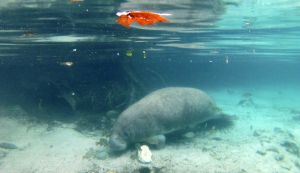 Crystal River Manatees