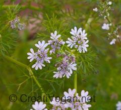 Flor del cilantro