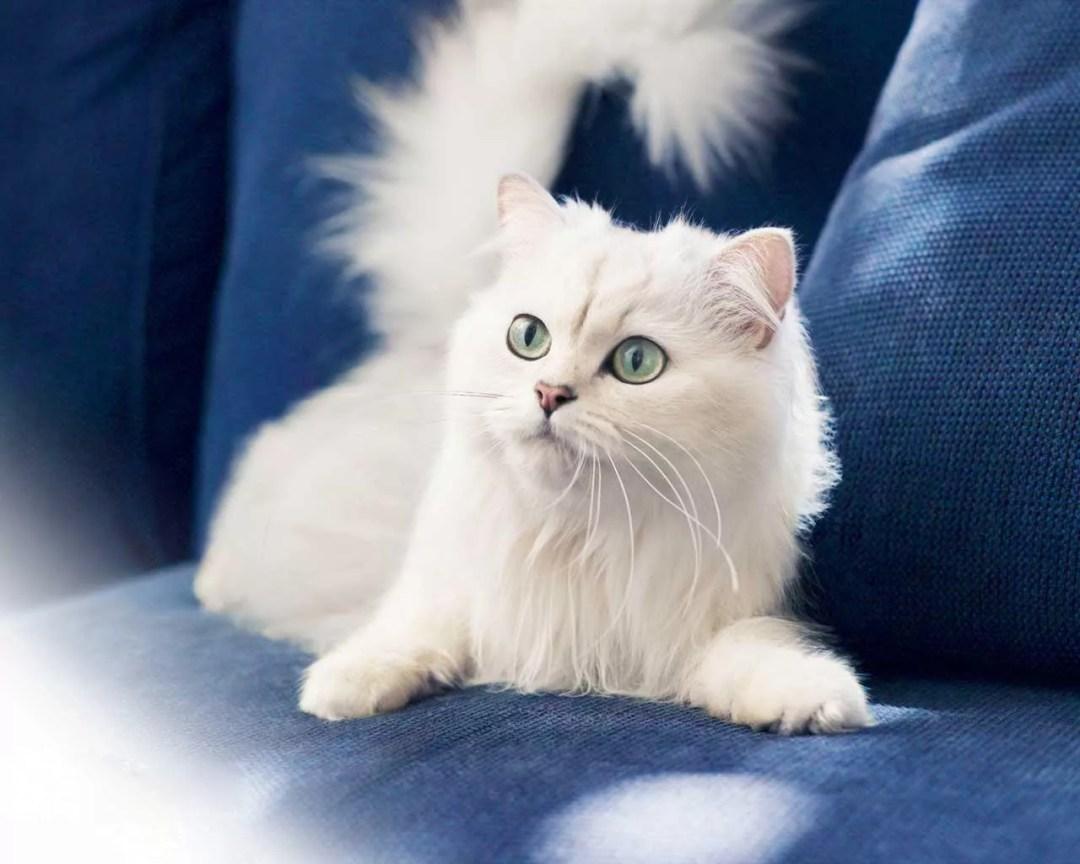Gato blanco en el sofá