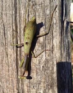 stick-bug1
