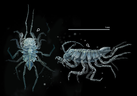 Exemplar de Uromunna naherba,  un crustáceo de pouco máis dun milímetro. / J. A. Peñas-Sinc