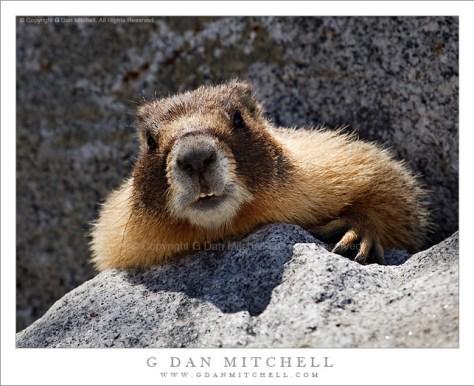Crouching Marmot