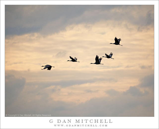 Sandhill Cranes in Flight, Evening - Five sandhill cranes take flight above the Merced National Wildlife Area in evening light.
