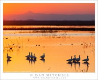 Ross's Geese, Sunset, Central Valley