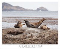 Harbor Seals, Point Lobos