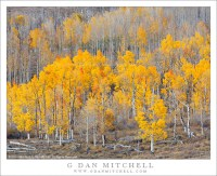 Aspen Grove, Boulder Mountain