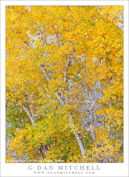 Cottonwood Trees Detail, Autumn - Close up view of golden autumn cottonwood leaves, Grand Staircase-Escalante National Monument