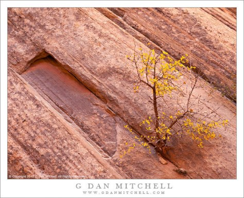 Autumn Tree, Sandstone Strata - An autumn tree grows from a precarious crack in sandstone strata, Capitol Gorge