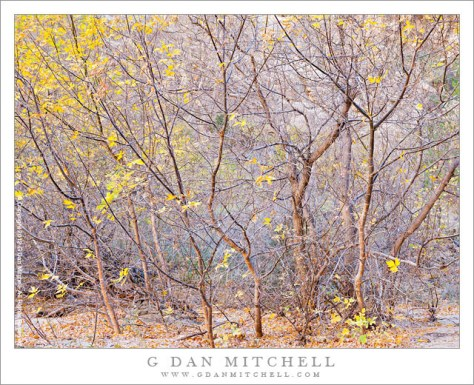 Box Elder Thicket, Fall - A dense thicket of box elder trees along the Escalante River, Utah