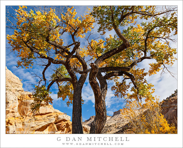Cottonwood Trees and Cloud-Filled Sky - Massive old cottonwood trees silhouetted against the cloud-filled autumn sky, Grand Staircase-Escalante National Monument