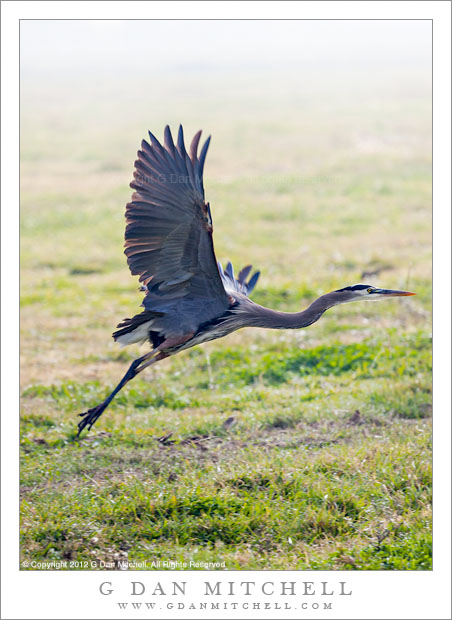 Great Blue Heron Taking Flight - A great blue heron takes flight from a field at the Merced National Wildlife Refuge California
