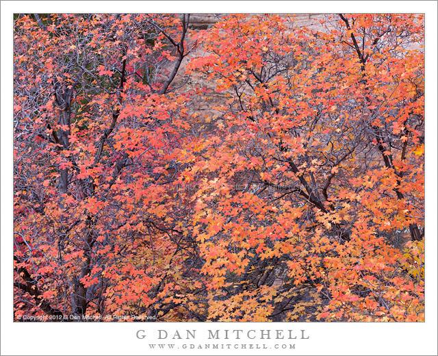 Red Maple Trees, Autumn - Autumn red maple trees growing against a sandstone cliff, Zion National Park