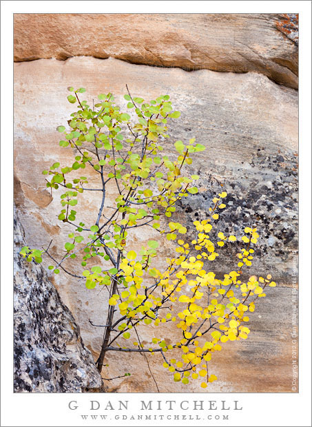 Single-Leaf Ash, Green and Yellow Leaves - A single-leaf ash in a narrow sandstone-walled canyon begins its autumn transition from green to yellow, Grand Staircase-Escalante National Monument