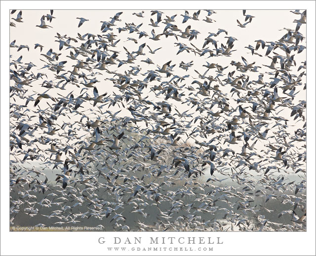 Geese, Central Valley Haze