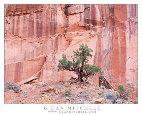 Utah Juniper, Sandstone Cliff