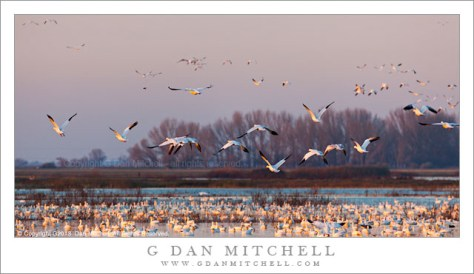 Ross's Geese, Golden Hour Fly-Out