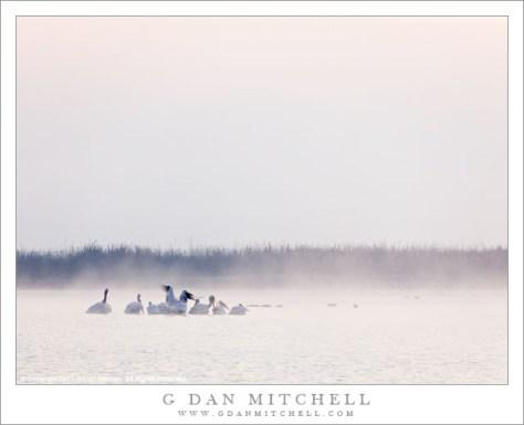 White Pelicans, Fog