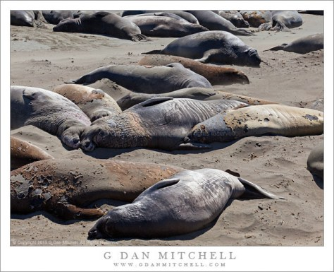 Napping Elephant Seals