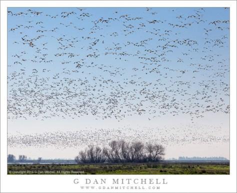 Geese in Blue Sky