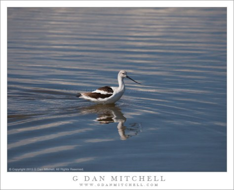 American Avocet, Reflection