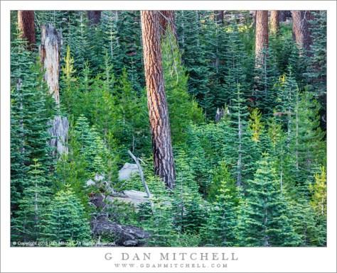 Sierra Forest, Morning Light