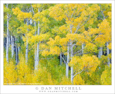 Aspen Grove, Yellow and Green
