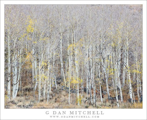 Grove of Bare Aspen Trees