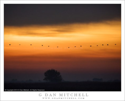 Dawn Flight of White Pelicans