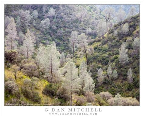 Sierra Foothills, Late Winter