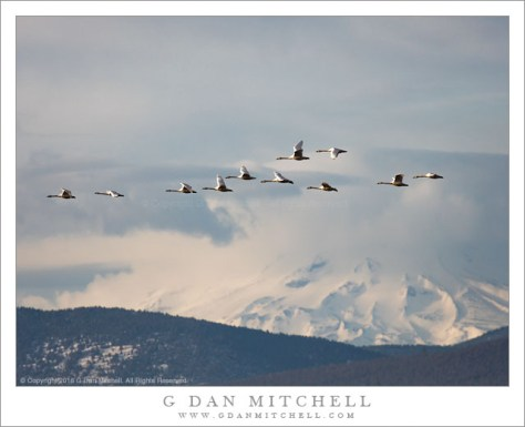 Tundra Swans, Mount Shasta