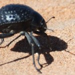namib_desert_beetle_feature