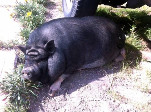 yoda-pig