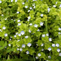 3 _Slender_speedwell_flowers_with_3_light_blue_and_1_white_petal _Note_notched_heart shaped_leaves Jpg