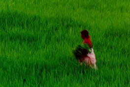 lavoro campi riso nepal